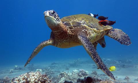 Maui Underwater Photography Turtles