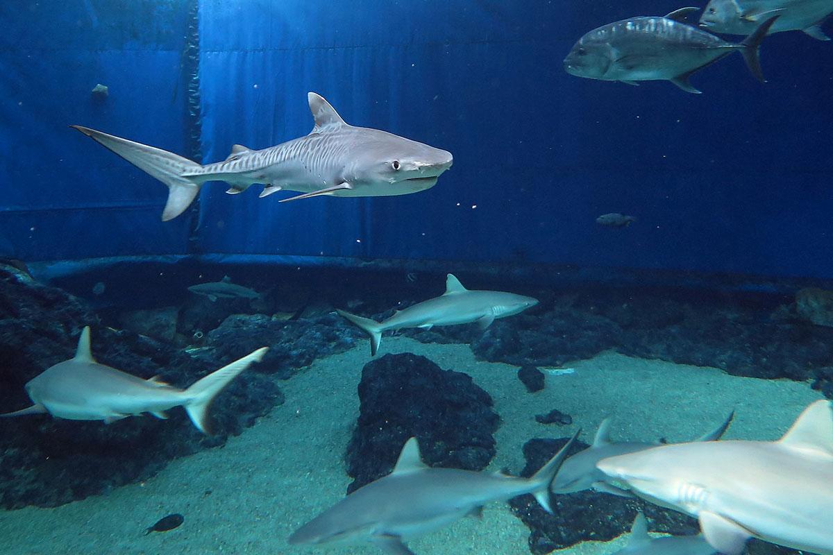 Hawaiian Tiger Shark in Captivity