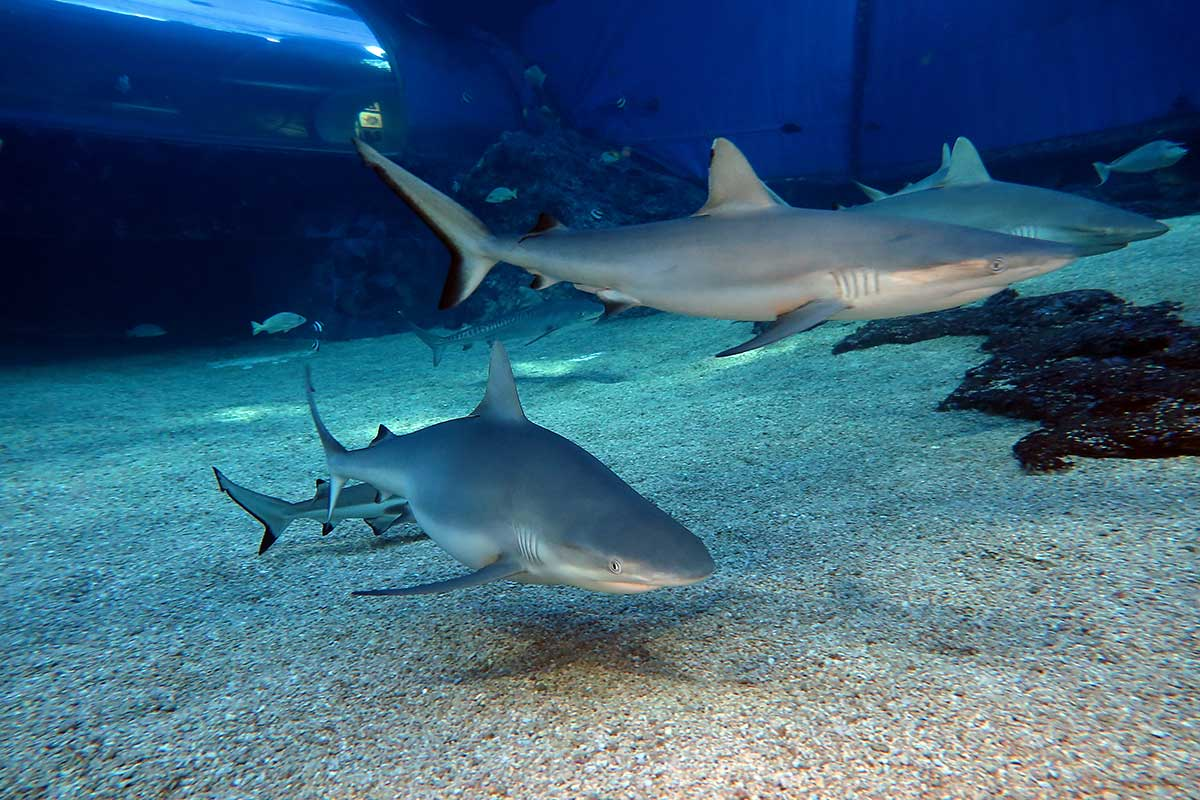 Swim with gray reef sharks on Maui