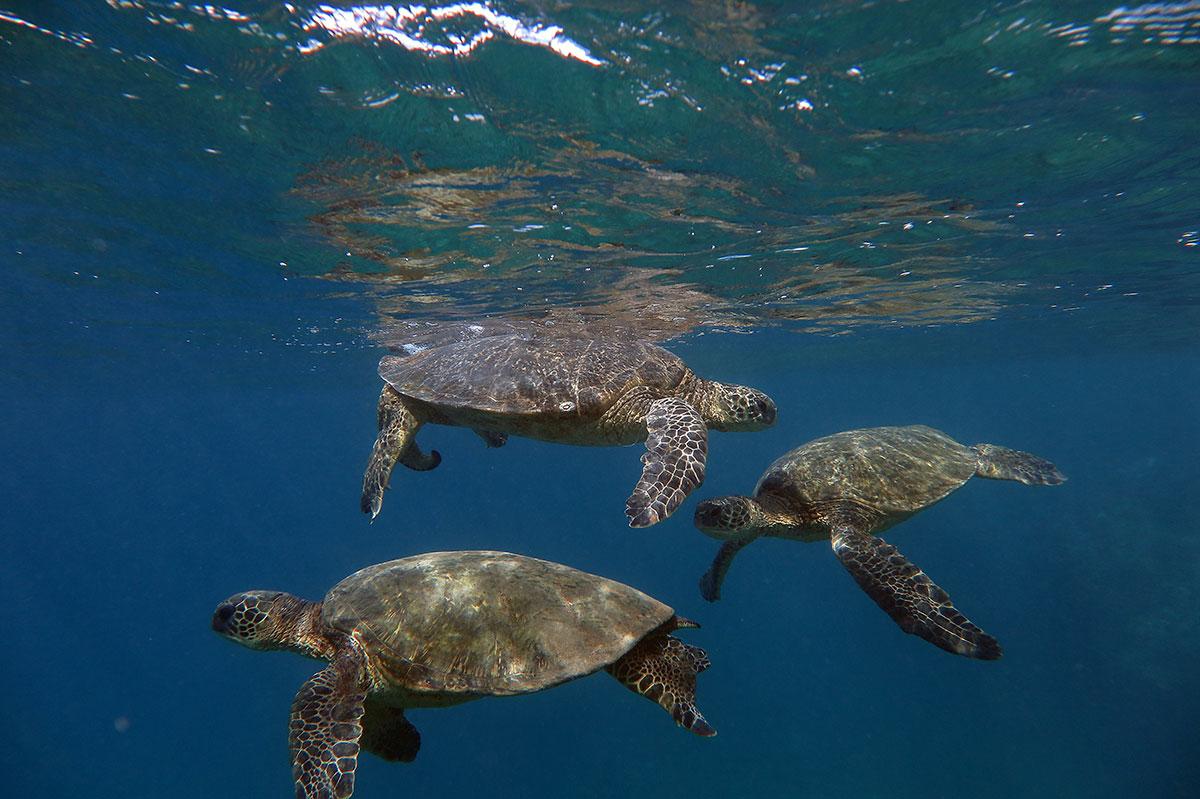 triple-sea-turtles
